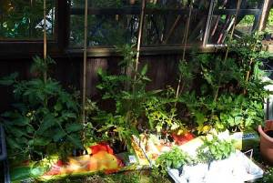 Tomatoes outside greenhouse - doing well, mostly