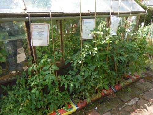 Tomatoes outside the greenhouse - with signs for visitors