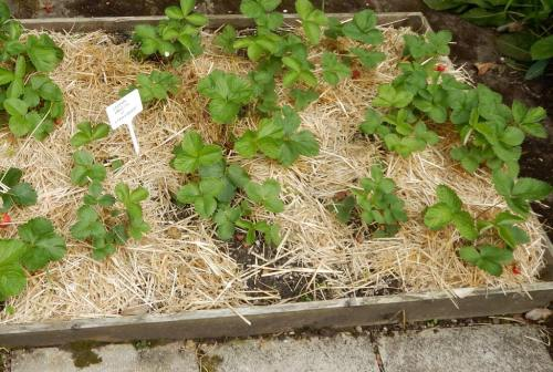 Strawberry plants - with straw!