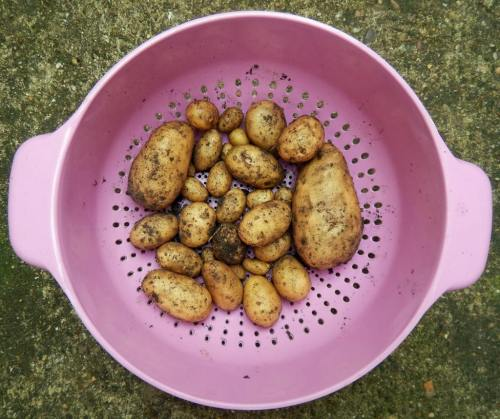 First harvest of potatoes (though some had been cooked already before this picture)