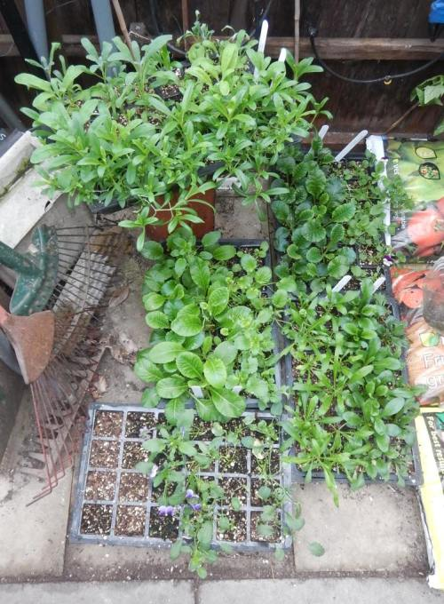 Spring flower seedlings - ready to go in now