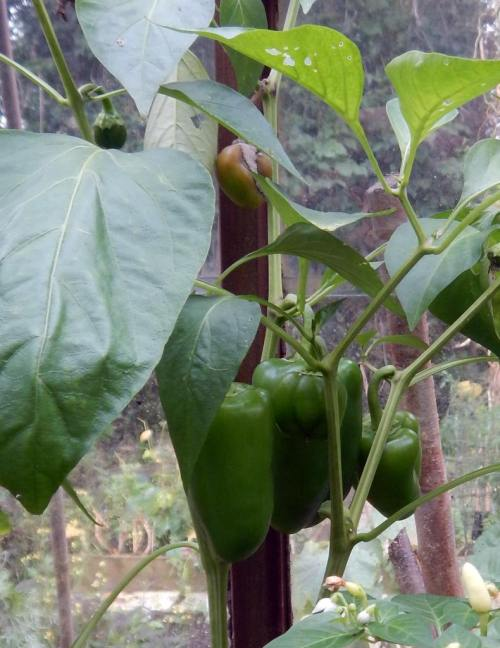 Sweet peppers - waiting to ripen