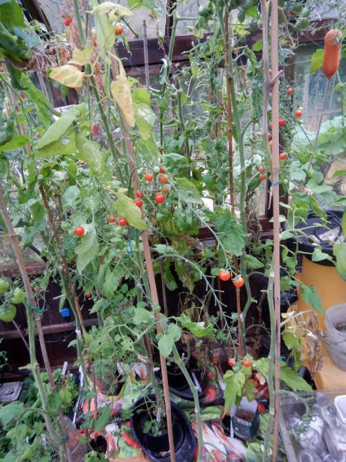 Greenhouse tomatoes now a bit bare